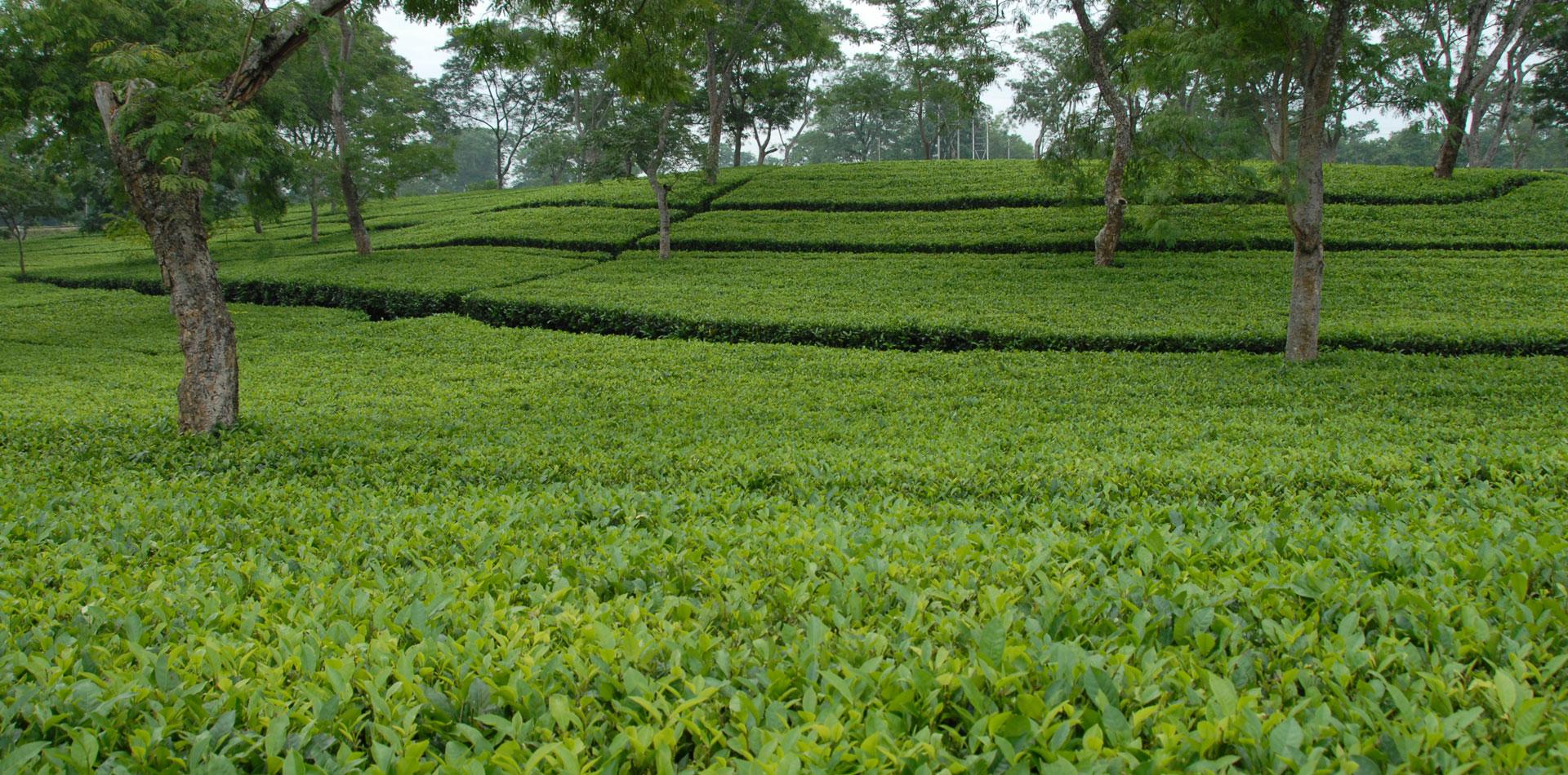 Tea Consultants India